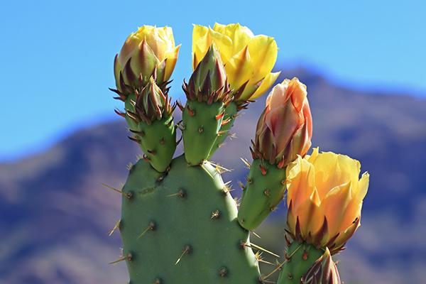 Kaktus mit Blüten